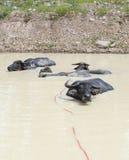 在水池的水牛城家庭 免版税库存图片
