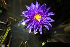 在水池的紫色莲花 免版税库存图片