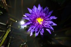 在水池的紫色莲花 免版税库存照片