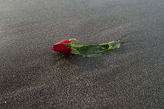 在黑沙子海滩的一朵红色玫瑰 免版税库存照片