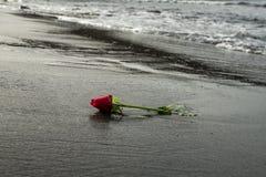 在黑沙子海滩的一朵红色玫瑰 库存图片