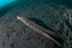 在黑沙子的仿造章鱼 免版税库存图片
