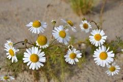 在黄沙的白色camomiles 免版税库存照片