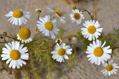 在黄沙的白色camomiles 图库摄影