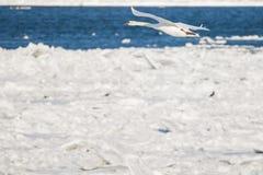 在冻河多瑙河的天鹅 免版税库存照片