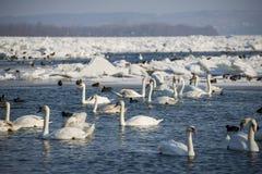 在冻河多瑙河的天鹅 图库摄影