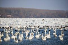 在冻河多瑙河的天鹅 免版税库存图片