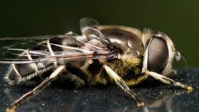 在黑油漆的Hoverfly与花粉 库存照片