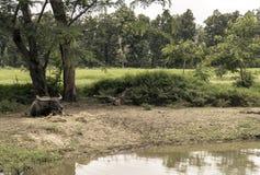 在水沼泽附近的水牛城逗留在森林里 免版税库存照片