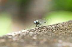 在水泥地板上的蜻蜓有绿色背景 免版税库存照片
