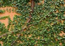 在水泥墙壁上的绿色爬行物 库存照片