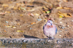 在水泥栖息的孤独的鸠 免版税库存照片