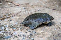 在水泥的Trionyx cortilageneus 库存照片
