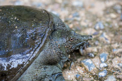 在水泥的Trionyx cortilageneus 免版税库存图片