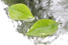 在水流量的新鲜的绿色叶子 图库摄影