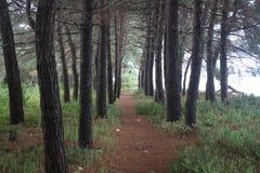 在黑海海岸的松树的道路 库存图片