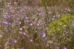 在黑海海岸的Immortelle紫色野花背景或墙纸的 乌克兰,尼古拉耶夫州地区 库存照片