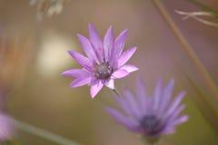在黑海海岸的Immortelle紫色野花背景或墙纸的 乌克兰,尼古拉耶夫州地区 库存图片