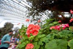 在滨海湾公园,新加坡花显示的红色大竺葵  库存图片