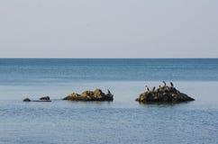 在黑海的鸬鹚 库存图片