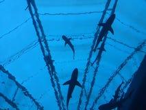 在水海鲨鱼下的水族馆 免版税库存照片