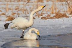 在冻湖的两只天鹅 免版税库存照片