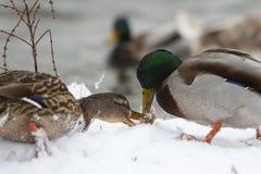 在冻湖的两只鸭子 免版税库存图片