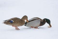 在冻湖的两只鸭子 免版税图库摄影