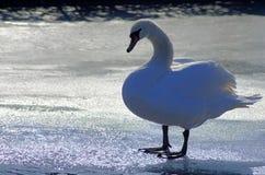 在冻结湖的天鹅 免版税库存照片
