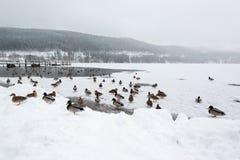 在冻湖的野鸭鸭子 免版税库存图片