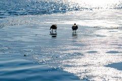 在冻湖的鸭子 免版税库存照片