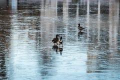 在冻湖的鸭子 库存图片