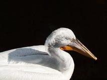 在黑湖的鹈鹕 免版税库存照片