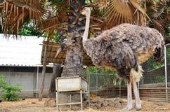 在水牛城村庄的驼鸟在Suphanburi泰国 免版税库存图片