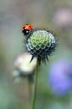 在头状花序的瓢虫 免版税库存照片