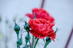 在6玫瑰色芽中的被打开的红色玫瑰 免版税库存照片