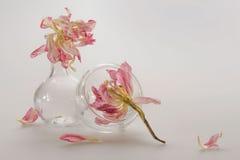 在玻璃器皿的两朵桃红色牡丹花:烧瓶和碗接触,在玻璃的白色反射,桃红色瓣系列,白色后面 免版税库存图片