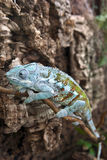 在玻璃容器的一个蓝色变色蜥蜴 免版税库存图片