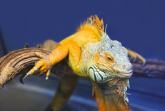 在玻璃容器的大鬣鳞蜥蜥蜴 库存照片