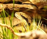 在玻璃容器的大绿色鬣鳞蜥 免版税图库摄影