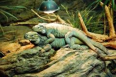 在玻璃容器的爬行动物 免版税库存照片