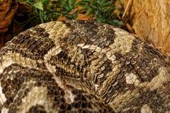 在玻璃容器的蛇- Gaboon蛇蝎 库存照片