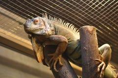 在玻璃容器的鬣鳞蜥 库存图片