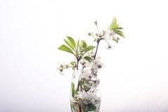 在玻璃白色的樱花 库存照片