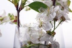在玻璃白色的樱花 库存图片