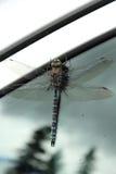 在玻璃的大蜻蜓 库存图片