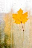 在玻璃的枫叶用自然水滴下 免版税图库摄影
