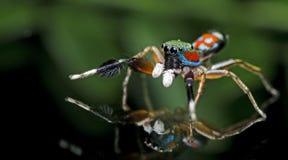 在玻璃的美丽的蜘蛛,跳跃的蜘蛛在泰国 库存图片