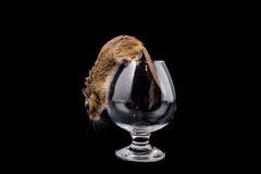 在玻璃的老鼠,被隔绝的黑色 图库摄影