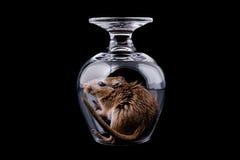 在玻璃的老鼠,被隔绝的黑色 免版税库存图片